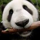 Panda2k19
