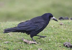 300px-Corvus_frugilegus_-Dartmoor,_Devon,_England-8.jpg
